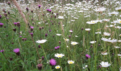 Lesser knapweed and ox-eye daisies